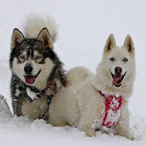 Snow Dogs by Kari Schoen - Animals - Dogs Portraits (  )