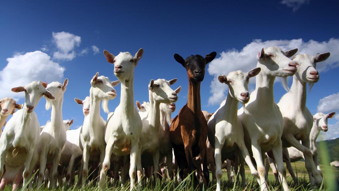 Snow White Goats Farm Nashik - Farm in Nashik
