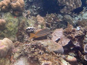 Photo: Lutjanus carponotatus (Stripey Snapper), Sand Island, Palawan, Philippines.