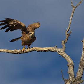 Black Kite by Hennie Cilliers - Animals Birds