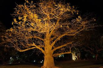 Photo: Boabab tree at Ein Gedi