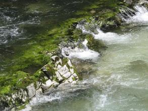 Photo: Merlo acquaiolo (Dipper) Vintgar Valley
