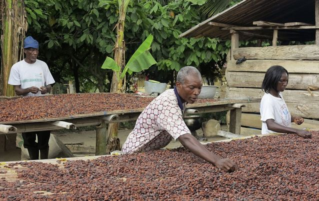 A family of cocoa growers helps with drying cocoa beans in Ghana's eastern cocoa town of Akim Akooko. Picture: REUTERS / KWASI KPODO