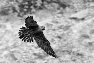 Photo: Peregrine Falcon (Wanderfalke); Tolantongo, HGO