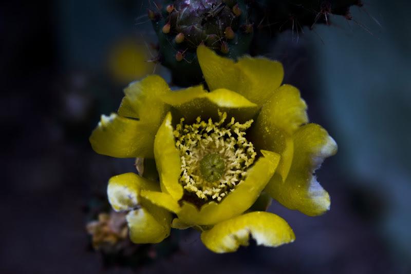 Opuntia ficus-indica di Mony.M