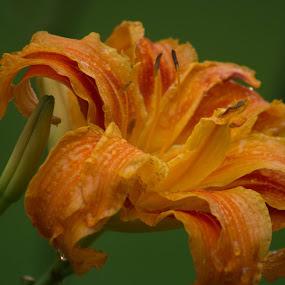 by Donna Davis Kasubeck - Flowers Single Flower (  )