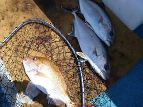 Photo: 〇〇さんは、真鯛とネリゴ二匹のトリプルキャッチ!