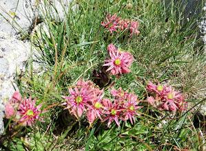 Photo: hampe florale superbe de Joubarbe de Montagne
