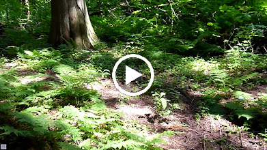 Video: Hatch the Barred Owlet spent a lot of time on the ground which exposes it to predators such as Coyotes.