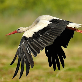 by Vladymyr Sergeev - Animals Birds