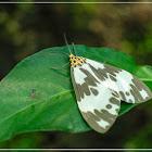 Tiger moth 角蝶燈蛾