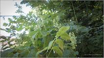 Photo: Hrișca deasă (Polygonum convolvulus L) - Str. M.Eminescu - 2016.08.27  http://ana-maria-catalina.blogspot.ro/2017/10/hrisca-deasa-polygonum-convolvulus-l.html