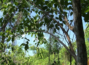 Photo: Wild Fig - Ficus citrifolia, MORACEAE, Endangered, at the edge of the wetland. Florida, West Indies and parts of Central America. Ann Stafford Aug. 8, 2007