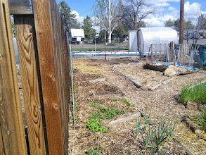 Photo: peas along fence, radish, spinach, onion- other stuff in there just babies you can't see yet
