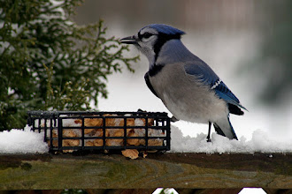 Photo: #BackyardBirdingMonday curated by +Celeste Odono and +Ricky L Jones  A late entry of an oldie; A Blue Jay firmly asserting his dominance over the peanut box. Have a good night everyone!
