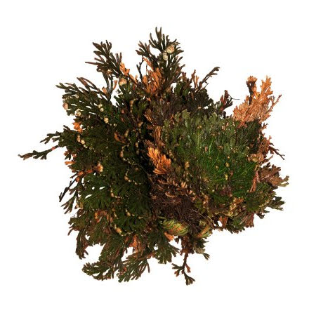 Rose of Jericho Terrarieväxt