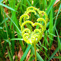 Spleenwort Fern