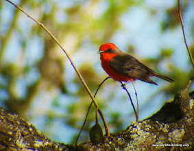 Photo: Vermilion Flycatcher; Rancho Primavera, outside Tuito, Jalisco