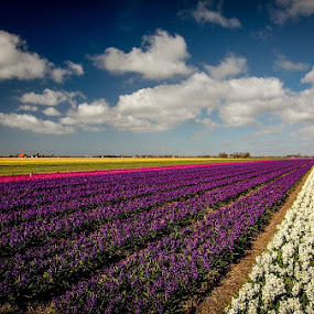 bulbfields... by Frans Scherpenisse - Landscapes Travel ( sky, holland, texel, hyacints.bulbs )