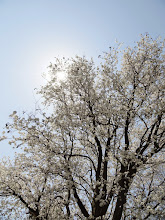 Photo: Sun peeking out from behind pear blossoms at Eastwood Park in Dayton, Ohio.