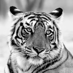 Tiger in Monochrome by Pravine Chester - Black & White Animals ( monochrome, black and white photograph, nature, tiger, wildlife, photography, animal )