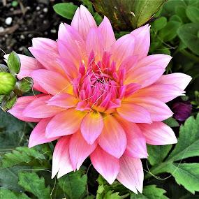 Dwarf Dahlia by Carol Leynard - Flowers Single Flower ( pink, dahlia, plant, dwarf dahlia, petals,  )