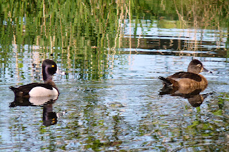 Photo: A Pair of Ring-necked Ducks: