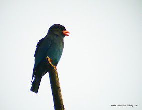 Photo: Dollarbird, Sukau Rainforest Lodge, Kinbatangan River