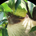 Two-fingered Sloth eating mango
