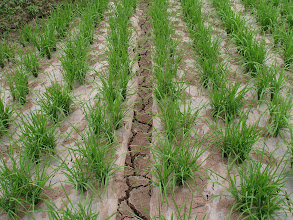 Photo: Drought with no negative seedling effects.