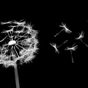 Blow by Aram Becker - Nature Up Close Flowers - 2011-2013 ( blowball, macro, b&w, dandelion, blow, close-up )