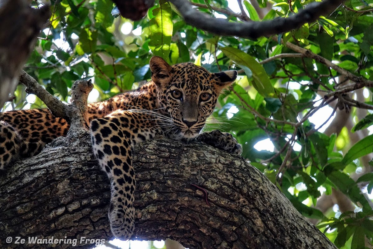 Leopards in Wilpattu National Park