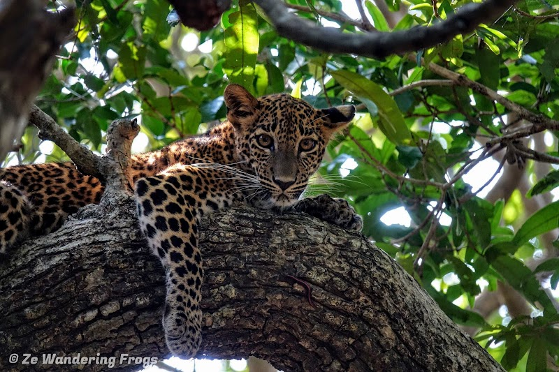 Sri. Lanka Wilpattu National Park. Leopard Laying on Tree Branch