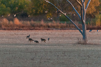 Photo: At dusk, a coyote family plays nonchalantly in the field as mallards fly away