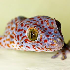 The Gecko by Dadan Supardan - Animals Reptiles