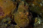 Photo: Antennaire jaune à tache dorsale dans l'archipel de Komodo by Carine Kunz-Jacques