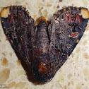 Lily Moth