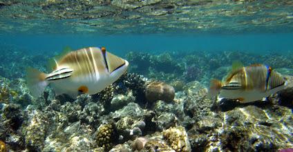 Photo: на домашнем рифе спинороги пикассо тусуются целыми стайками