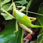 Angle wing katydid
