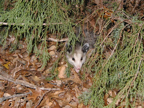 Photo: Fierce little opossum