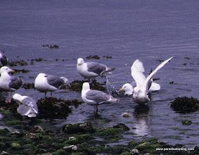 Photo: Glaucous Gull (right) with Glaucous-winged Gulls, Olympic Peninsula, Washington