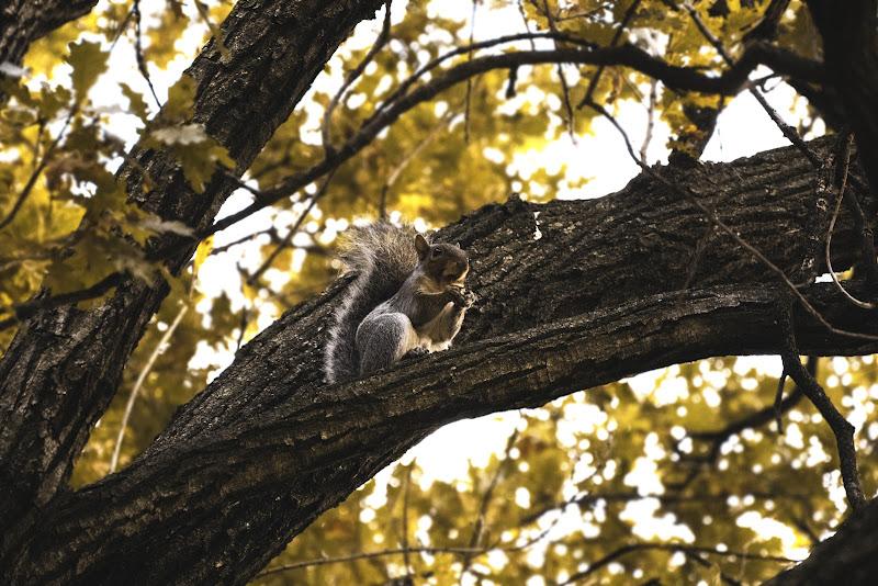 Si sta come d'autunno sugli alberi gli scoiattoli di Lji