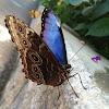 Peleides Blue Morpho (aka Common Morpho or The Emperor)