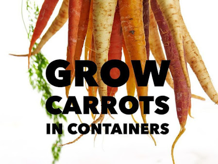 Grow Carrots in Containers