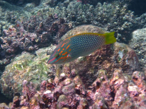 Photo: checkerboard wrasse