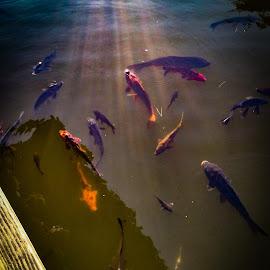 The koi fish pond by Amir Shahid - Animals Fish ( pond, sunlight, fish, garden, water )