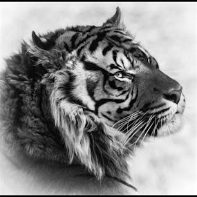 Tiger by Dave Lipchen - Black & White Animals ( tiger )