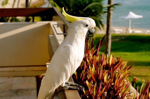 parrot-at-Great-Barrier-Reef - A gorgeous parrot lands on the hotel balcony of visitors to Australia's Great Barrier Reef.