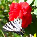 Scarce Swallowtail; Chupaleches