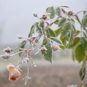 A Frozen Beauty  by Stoyan Baev - Flowers Flower Gardens ( rose, winter, roses, frozen, garden,  )